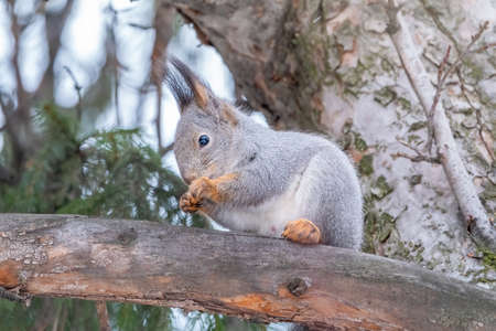 The squirrel sits on a fir branches in the winter or autumn. Eurasian red squirrel, Sciurus vulgaris Banco de Imagens - 155277048