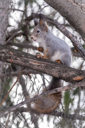 The squirrel sits on a fir branches in the winter or autumn. Eurasian red squirrel, Sciurus vulgaris Banco de Imagens - 155280764