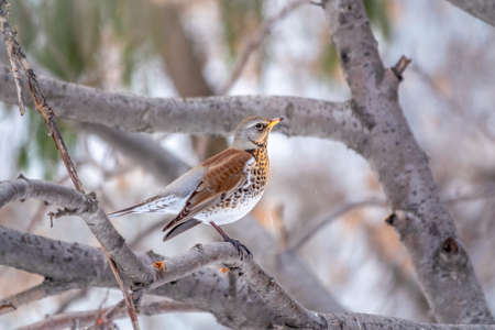 Fieldfare, lat. Turdus pilaris, is sitting on branch in winter or autumn blurred background. Banco de Imagens - 155270893