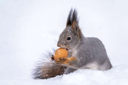 The squirrel sits on white snow with nut in winter. Eurasian red squirrel, Sciurus vulgaris. Copy space background Banco de Imagens - 155270677