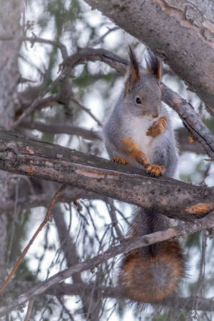 The squirrel sits on a fir branches in the winter or autumn. Eurasian red squirrel, Sciurus vulgaris Banco de Imagens - 155270010