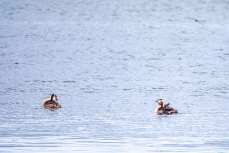 Two stunning adult Great crested Grebe, Podiceps cristatus, swimming in the lake, one of the parents has their cute babies riding on its back. Banco de Imagens - 155342476