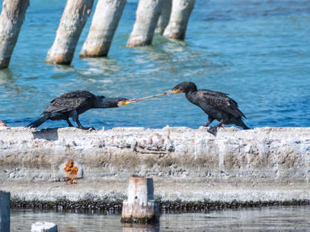 Two cormorants are pulling a stick. Two cormorants are playing on the dock. The great cormorant, Phalacrocorax carbo, known as the great black cormorant, or the black shag. Banco de Imagens - 155345534