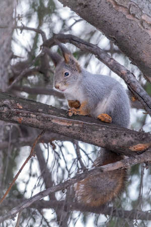The squirrel sits on a fir branches in the winter or autumn. Eurasian red squirrel, Sciurus vulgaris Banco de Imagens - 155339671