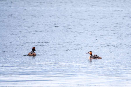 Two stunning adult Great crested Grebe, Podiceps cristatus, swimming in the lake, one of the parents has their cute babies riding on its back. Banco de Imagens - 155339412