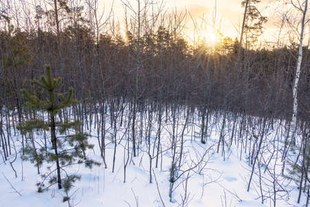 Young pines and birches in snow in the winter forest. Winter Forest background Banco de Imagens - 155419807