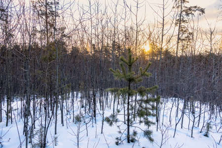 Young pines and birches in snow in the winter forest. Winter Forest background Banco de Imagens - 155420656