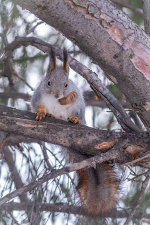 The squirrel sits on a fir branches in the winter or autumn. Eurasian red squirrel, Sciurus vulgaris Banco de Imagens - 155410142