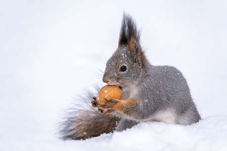 The squirrel sits on white snow with nut in winter. Eurasian red squirrel, Sciurus vulgaris. Copy space background Banco de Imagens - 155409396