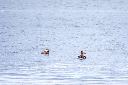Two stunning adult Great crested Grebe, Podiceps cristatus, swimming in the lake, one of the parents has their cute babies riding on its back. Banco de Imagens - 155409527