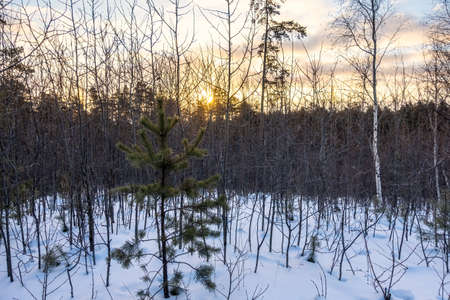Young pines and birches in snow in the winter forest. Winter Forest background Banco de Imagens - 155409137