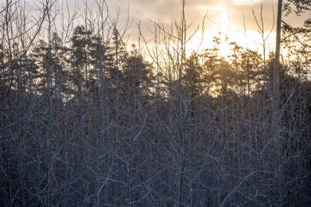 Young trees without leaves in the winter forest at sunrise Winter Forest background