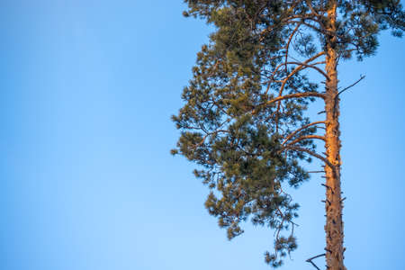 Pine tree against the blue sky. Tree branches during sunny day. Banco de Imagens - 155409505