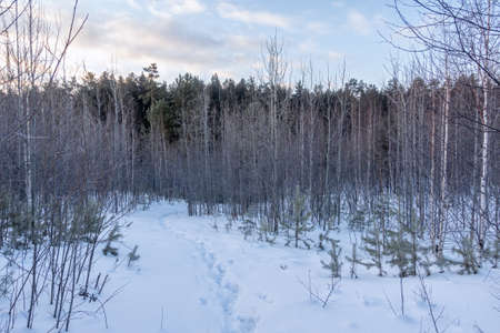 Young pines and birches in snow in the winter forest. Winter Forest background Banco de Imagens - 155410078