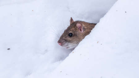 Brown rat is eating seeds sitting on the snow. The brown rat, lat. Rattus norvegicus, also known as the common, street Norway or Norwegian rat