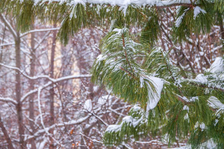 Cedar branches with long fluffy needles in winter covered with snow. Pinus sibirica, or Siberian pine. Pine branch with long and thin needles. The pine tree looks soft and fluffy.