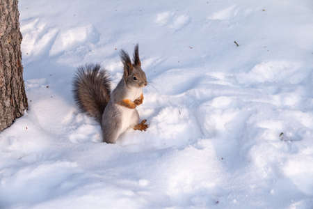 Squirrel standing on its hind legs on the white snow. Eurasian red squirrel, Sciurus vulgaris
