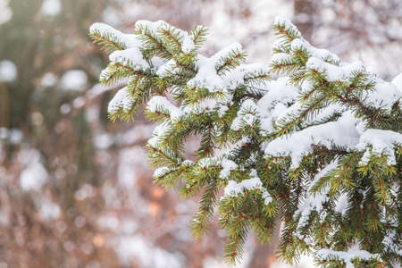 Green fir branches in winter covered with snow. Branches of fir tree as background, closeup. Christmas background