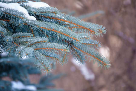 Snow-covered branches of blue spruce with needles in the sunset light. Fir branch in the rays of the sun. The blue spruce, Colorado spruce, or Colorado blue spruce, with the Latin name Picea pungens.