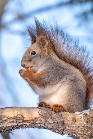 Girl feeds a squirrel with nuts at winter. Squirrel eats nuts from the girls hand. Caring for animals in winter or autumn. Banco de Imagens