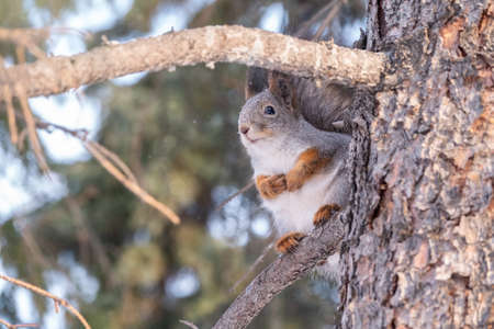 The squirrel sits on a fir branches in the winter or autumn. Eurasian red squirrel, Sciurus vulgaris