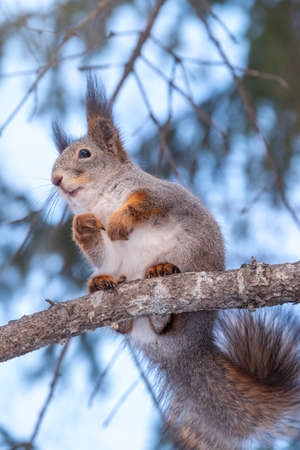 The squirrel with nut sits on a fir branches in the winter or autumn. Eurasian red squirrel, Sciurus vulgaris. Portrait of a squirrel in winter. Banco de Imagens