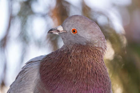 The fat pigeon portrait. Domestic pigeon bird and blurred natural background. Gray dove bird.