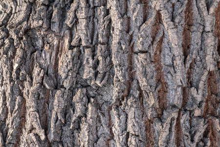 Cork oak tree bark texture. Old Tree bark texture. Natural background. Cork oak, lat. Quercus suber