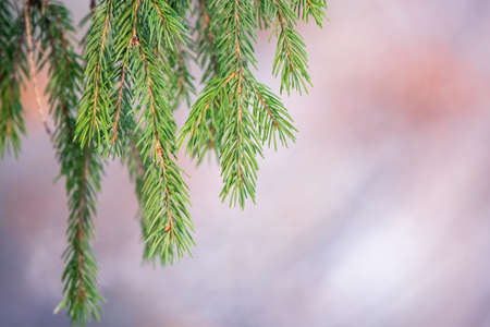 Green fir branches in winter at sunset. Branches of fir tree as background, closeup. Christmas background