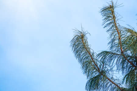 Green pine branches with needles against a bright blue sky. Copy space background