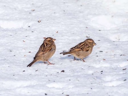 Two sparrows stand on snow ground hopelessly and helplessly searching for foods while shivering their bodies.