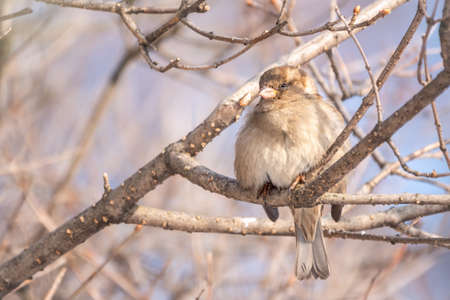 Sparrow sits on a branch without leaves with snow. Sparrow on a branch in the winter