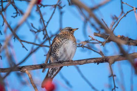 Fieldfare, lat. Turdus pilaris, is sitting on branch in winter or autumn on blue sky background.