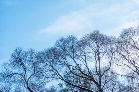 Autumn or winter tree branches without leaves against a clear blue sky .. Natural template with copy space.