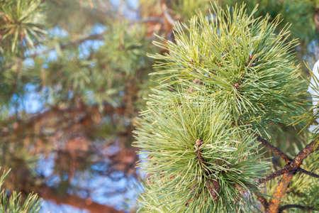 Close-up of Christmas pine fir tree branches background. Background of Christmas tree branches. Banco de Imagens