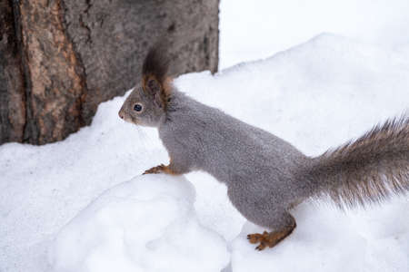 The squirrel sits on white snow. Eurasian red squirrel, Sciurus vulgaris