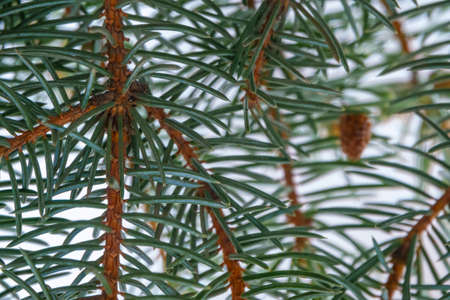 Close-up of green Christmas tree branch with needles in nature
