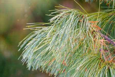 Cedar branches with long fluffy needles with a beautiful blurry background. Pinus sibirica, or Siberian pine. Pine branch with long and thin needles. The pine tree looks soft and fluffy.