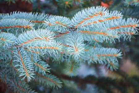 Branches of blue spruce with needles in the sunset light. Fir branch in the rays of the sun. The blue spruce, Colorado spruce, or Colorado blue spruce, with the Latin name Picea pungens.