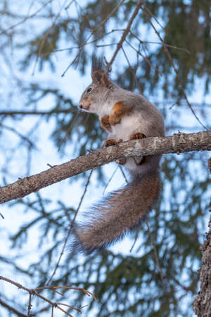 The squirrel with great tail sits on a fir branches in the winter or autumn. Eurasian red squirrel, Sciurus vulgaris. Portrait of a squirrel in winter.