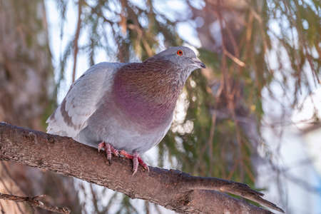 The fat pigeon sitting on a branch. Domestic pigeon bird and blurred natural background. Gray dove bird.