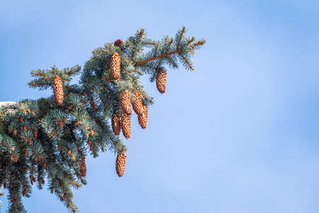 Green spruce branches with needles and cones against a blue sky in winter. Many cones on spruce. Fir tree. Background image with copy space.