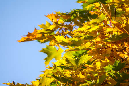 Maple branches with green and yellow leaves in autumn, in the light of sunset. Blue sky background. Dry autumnal leaves background, golden maple tree foliage, autumn park, seasons change