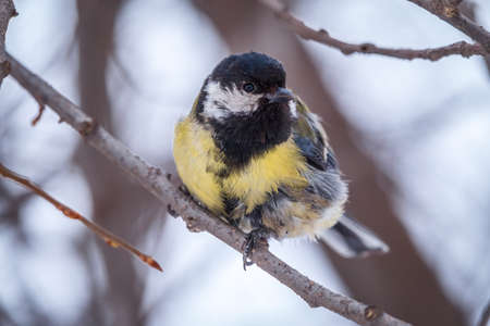 Cute bird Great tit, songbird sitting on a branch without leaves in the autumn or winter. Parus major