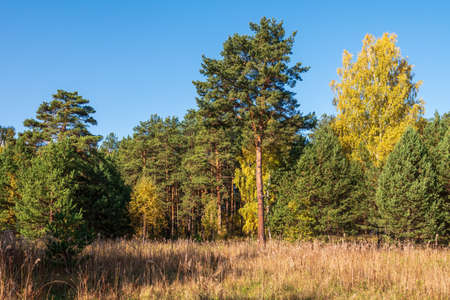 Trees with orange, green and yellow leaves and green pines in the autumn forest. Yellowed grass on the edge of the autumn forest. Nature background. Golden autumn colors.