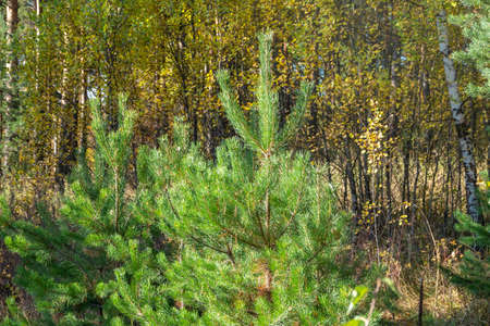 Green spruce branches and yellow leaves in the autumn forest. Autumn background.