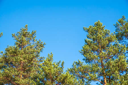 Crown of lush green pine tree with long needles on a background of blue sky. Freshness, nature, concept.