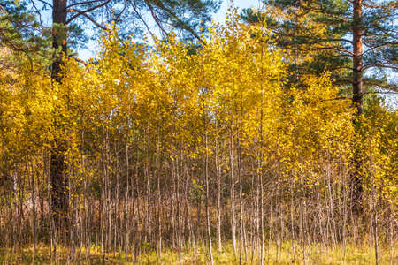Trees with orange and yellow leaves and green pines in the autumn forest. Yellowed grass on the edge of the autumn forest. Nature background. Golden autumn colors.