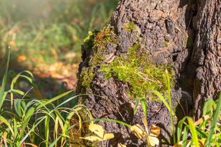 Old tree stump with moss in the autumn forest. Brown texture of the old tree.