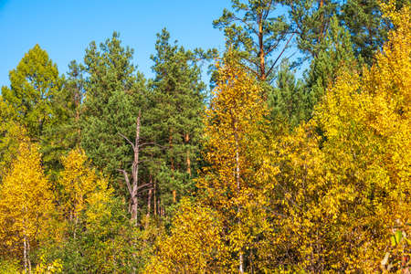 Trees with orange, green and yellow leaves and green pines in the autumn forest. Nature background. Golden autumn colors. Banco de Imagens